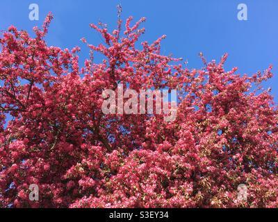 Tiefrosa Blütenbaum am blauen Himmel