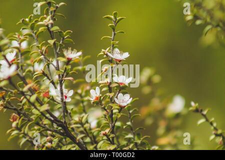 Weiße Blüten blühen auf Manuka Baum in Neuseeland - Stockfoto