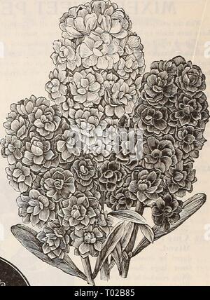 """Dreer's Garten Kalender: 1900. dreersgardencale 1900 henr Jahr: 1900 große Blütezeit 10 Wochen Aktien. S^VEET SrETAN. Pro PCK. 4281 Gelb Ceutaurea Sttaveolens {^^ Sehr auffällige robustes jährliches, Füße hoch, groß, hell-gelb Blumen; süß duftendes; ein feiner Schnitt - Blume 5 RIESIGE FEO"""" ERING SEET SALTANS. Diese werden gefunden, die mit den anderen Cen-taureas auf Seite 68 angeboten. Übersehen Sie nicht die herrlichen Prozent Imperial Centaurens auf Seite 6 angeboten. Sie stellen die höchste Entwicklung in dieser Blume. - Stockfoto"""