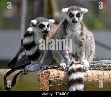 Zwei ring tailed lemurs genießen die Sonne auf dem Zaun am tropischen Flügel Zoo, Chelmsford, Essex, Großbritannien. Dieser Zoo geschlossen im Dezember 2017. - Stockfoto