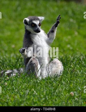 Ring tailed Lemur in der Sonne auf dem Rasen im Tropical Flügel Zoo, Chelmsford, Essex, Großbritannien. Dieser Zoo geschlossen im Dezember 2017. - Stockfoto
