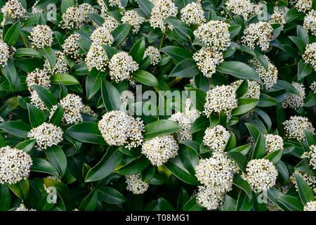Skimmia x confusa Kew Green Blütenstände - Stockfoto