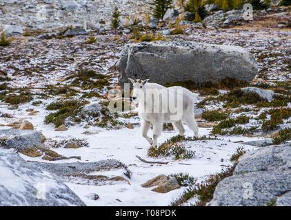 Eine Bergziege in der oberen Verzauberung Seen Wilderness Area, Washington, USA. - Stockfoto