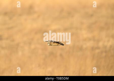 Sumpfohreule Tiefflug über das Feld auf der Suche nach der nächsten Mahlzeit - Stockfoto