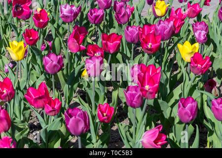 Mehrfarbige Tulpen. In der Nähe von Blumen blühen im Freien - Stockfoto