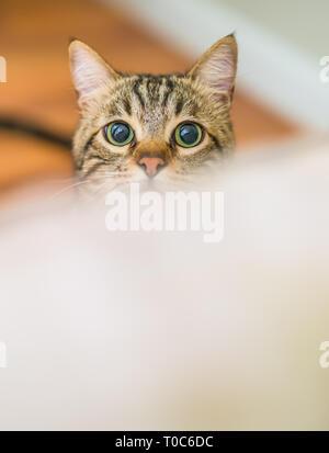 Cute kurze Haare Katze schaut neugierig und Snooping zu Hause spielt Verstecken und Suchen - Stockfoto