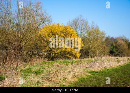Ein Dickicht im frühen Frühling, mit den meisten Bäume noch kahl und eine ausgereifte Hasel (Corylus avellana) in voller Blüte Gelb palmkätzchen Heraus Stehen - Stockfoto