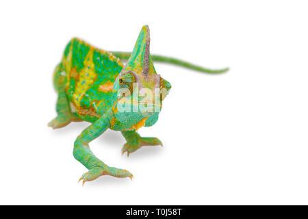 In der Nähe von einem schönen grünen bunte Chamaeleo calyptratus freuen. Arten auch als verschleierte, Kegel- oder Jemen Chamäleon.