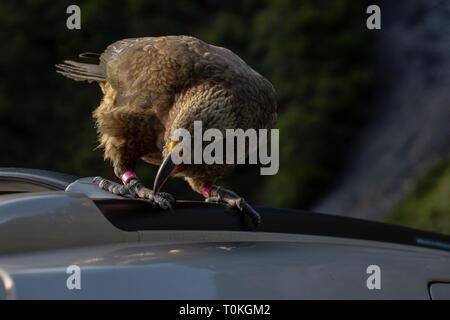 Kea in Neuseeland - Stockfoto