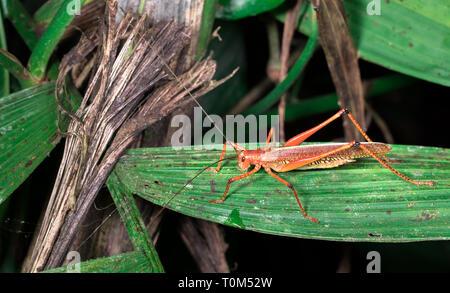 Große orange Heuschrecke auf ein Blatt in der Nacht in der Nähe von Puerto Viejo de Sarapiqui, Costa Rica. - Stockfoto