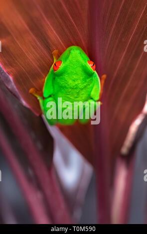 Red-eyed Tree Frog (Agalychnis callidryas) Festhalten an der Unterseite eines Blattes. Costa Rica. - Stockfoto