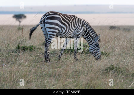 Zebra wandern einsam in Masai Mara National Reserve Park - Stockfoto