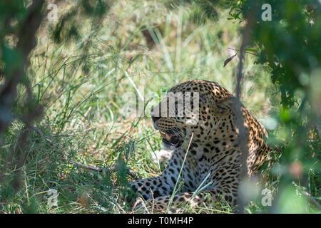 Leopard sitzend in Bush in der Masai Mara, Kenia, Afrika - Stockfoto