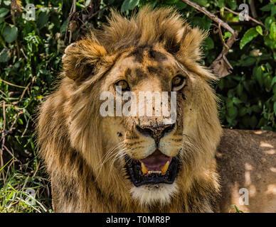 Ein männlicher Löwe ruhen unter dem Baum und schwer keuchend in Masai Mara - Stockfoto