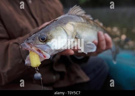 Zander gefangen auf Handgefertigtem jig Köder in die Hände der Fischer - Stockfoto