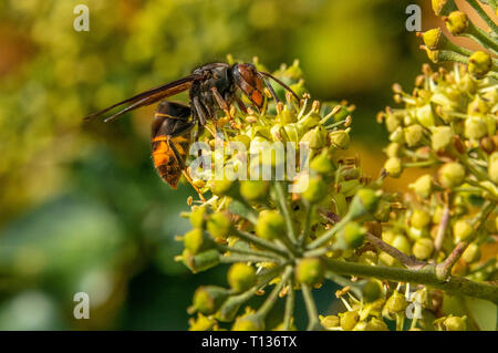 Nahaufnahme eines asiatischen Hornisse, auch bekannt als yellow-legged Hornisse (Vespa velutina) Nektar von Ivy Blütenkopf. Im Süden von Frankreich. - Stockfoto