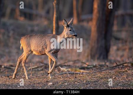 Rehe, Hyla arborea, doe gehen durch einen Wald bei Sonnenuntergang. - Stockfoto