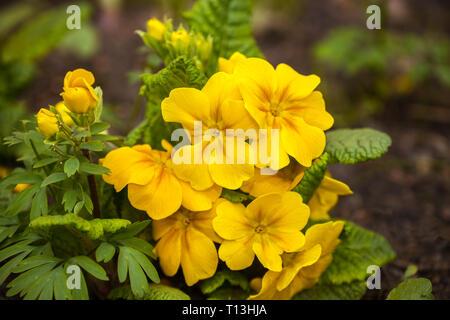 Gelbe primula Close-up auf Blumenbeet im Garten - Stockfoto