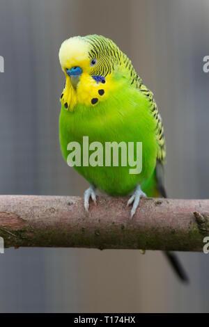Budgerigar (Melopsittacus undulatus). Erwachsenen Mann mit blauen Cere über die Rechnung. Voliere, Pet Bird.  grünen Gefieder ist der natürliche, Farbe der Vogel im wilden Australien. - Stockfoto