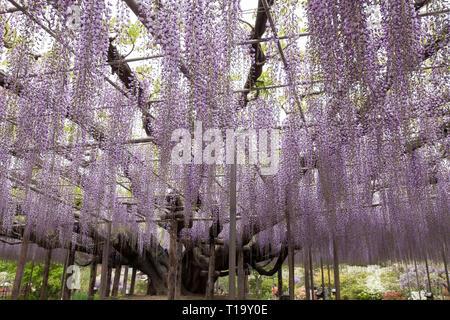 """Strukturell lila Wisteria """"Baum"""" in voller Blüte an Ashikaga Flower Park, Japan unterstützt. - Stockfoto"""