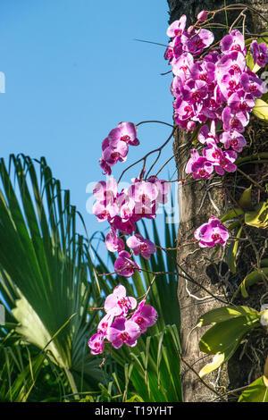 Tiefrosa wilde Orchideen wachsen auf einem Baum, mit einem prominenten palm Zweig, alle gegen einen schönen blauen Himmel Hintergrund.