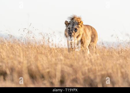 Nahaufnahme der männliche Löwe wandern in Savanne bei Sonnenaufgang, Masai Mara National Reserve - Stockfoto