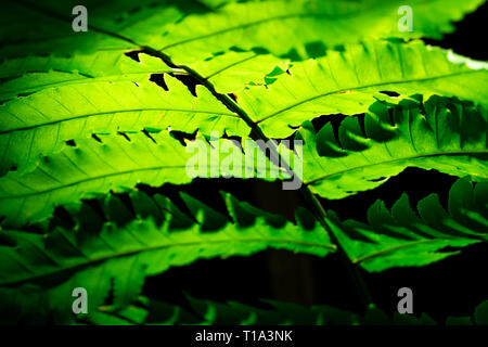 Grünes Blatt mit Sonnenlicht auf dunklem Hintergrund. Natur Hintergrund. Makroaufnahme der Farn Blatt Textur. Farn Blätter im Wald. Sonne scheint durch Farn lea - Stockfoto