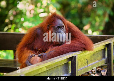 Wild bornesischen Orang-utan im Semenggoh Nature Reserve, Wildlife Rehabilitation Centre in Kuching. Orang-utans sind vom Aussterben bedrohten Menschenaffen bewohnen Regenwälder - Stockfoto