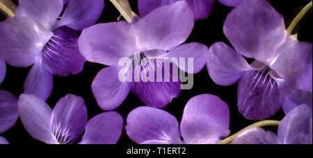 In der Nähe von violetf wildlowers. Oregon - Stockfoto