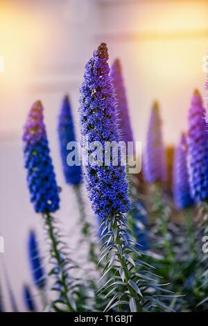 Echium candicans Anders als Stolz der Madeira in voller Blüte bekannt. Stock Bild. - Stockfoto