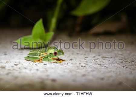 Red-Eyed Leaf Frog Paarung auf einem Pfad, in Costa Rica genommen - Stockfoto