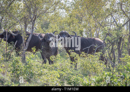 Afrikanische Büffel in den Büschen im Krüger National Park, Südafrika. - Stockfoto