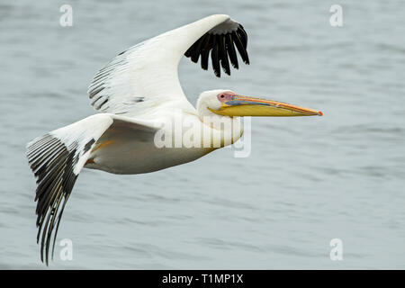 Great White Pelican - Pelecanus onocrotalus, große weiße Meer Vogel aus afrikanischen Küste, Walvis Bay, Namibia. - Stockfoto