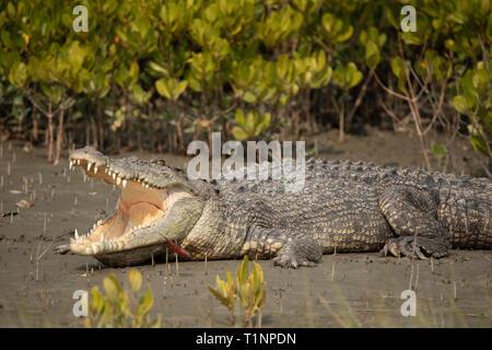 Salzwasser Krokodil, Crocodilus porosus, Sunderbans, West Bengal, Indien