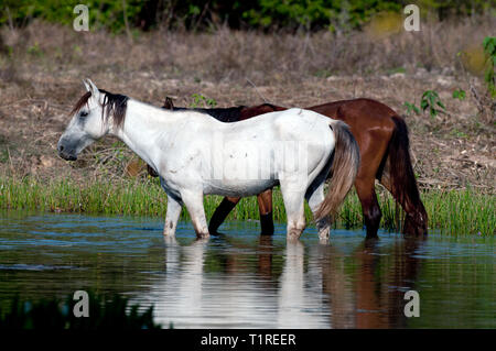 Zwei Pferde stehen im Wasser im Pantanal in Brasilien - Stockfoto