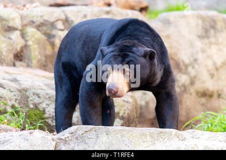 Sun Bear - Stockfoto
