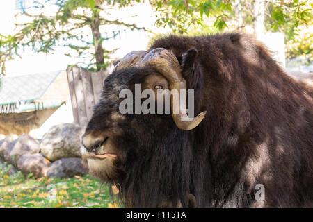 Der Moschusochse steht auf der Wiese und zeigt seine Zunge - Stockfoto