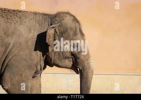 Porträt eines kleinen Elefanten im Zoo auf der Straße - Stockfoto