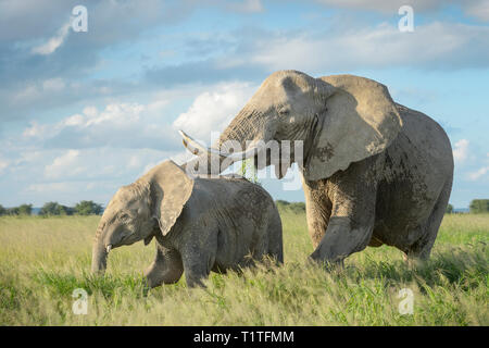 Afrikanischer Elefant (Loxodonta africana) Mutter Schutz Kalb in Grünland, Amboseli National Park, Kenia. - Stockfoto