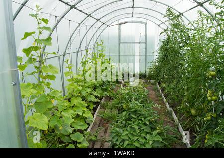 Gurken und Tomaten wachsen in der modernen Solar Arc Polycarbonat Gewächshaus. - Stockfoto