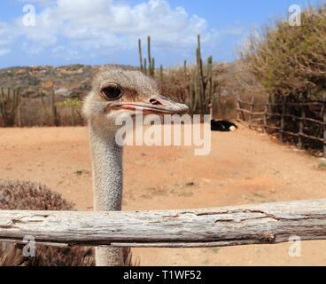Nahaufnahme einer weiblichen Strauß (Struthio camelus) und ihr Partner in ihrem Pen bei der Aruba Ostrich Farm, Paradera, Aruba. - Stockfoto