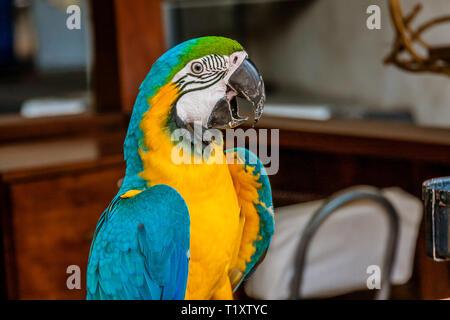 Die blau-gelbe Ara (Ara ararauna), auch in Blau und Gold macaw bekannt, ist ein großen Südamerikanischen Papagei - Stockfoto