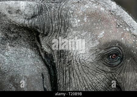 Elefanten in Loango Nationalpark, Gabun - Stockfoto