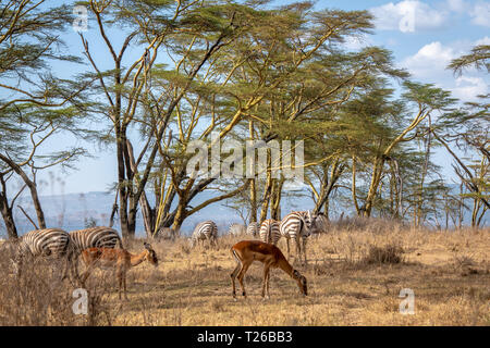 Tiere, die in Nakuru, Kenia - Stockfoto