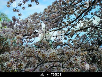 Japan, Cherry Blossom close up. - Stockfoto