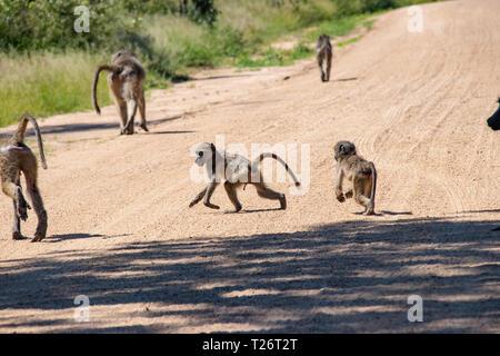 Baboon (papio Anubis) Familie in der afrikanischen Savanne. Afrika Safari Wildlife - Stockfoto
