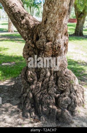 Knorrigen alten Baum in einem Park in Los Angeles, Kalifornien - Stockfoto
