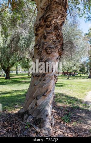 Knorrigen alten Eukalyptus Baumstamm in einem Park in Los Angeles, Kalifornien - Stockfoto
