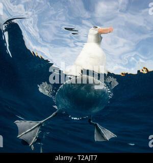 Schwarz tiefsten Albatross, oder mollymauk, Pazifischer Ozean, North Island, Neuseeland. - Stockfoto