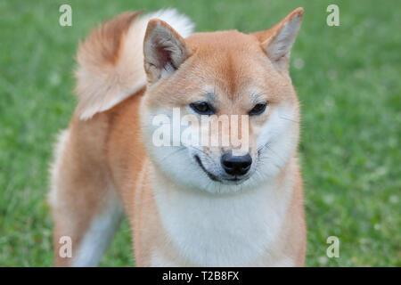 Cute rot shiba inu. Japanische klein Hund oder japanischen Rasen Hund. Heimtiere. Reinrassigen Hund. - Stockfoto